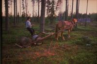 Finsk tjæremile hest trækker tjæretønder